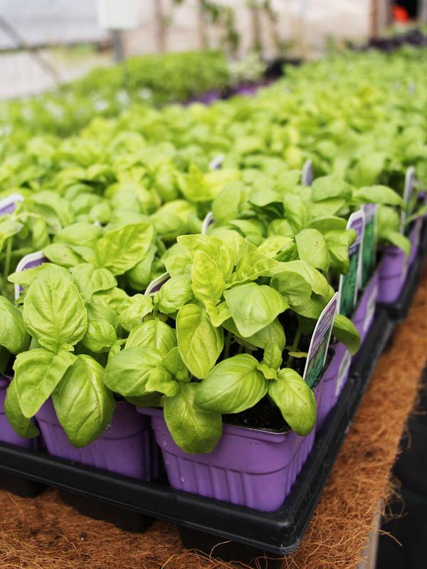 Fines herbes - Basilic