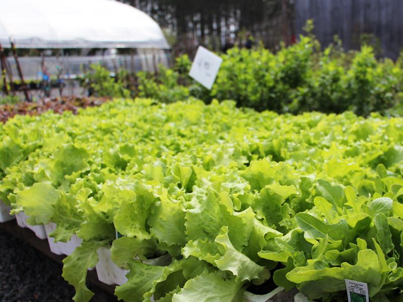Salade en feuilles